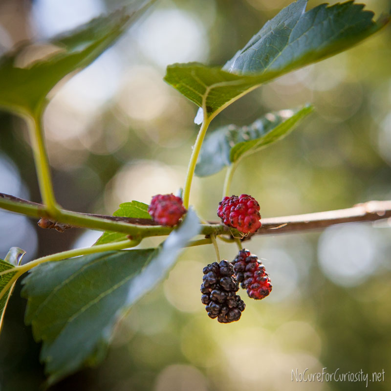 Mulberries hanging from the tree.