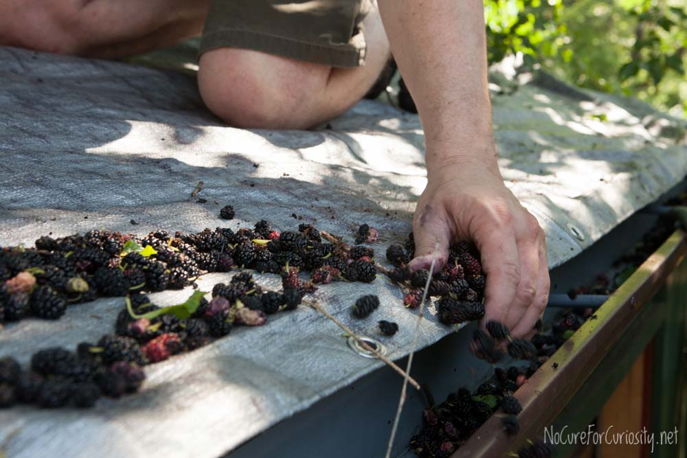 My husband carefully pushes the mulberries into the gutter.