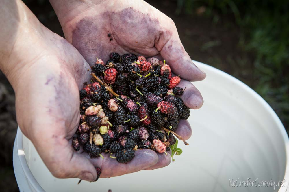 A handful of mulberries, some ripe and some not.
