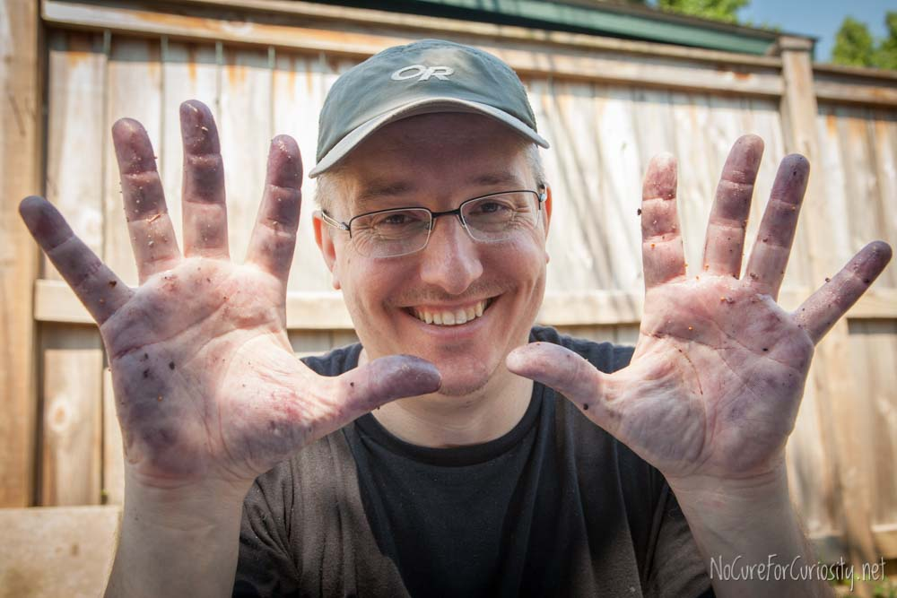 My husband shows his mulberry-stained hands.